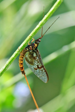 Mayfly (E-vulgata)