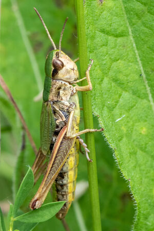 Meadow Grasshopper (Chorthippus parallelus) female