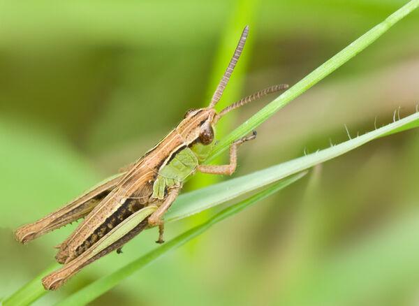 Meadow Grasshopper (Chorthippus parallelus) nymph