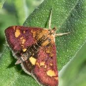 Mint Moth (Pyraust-aurata)