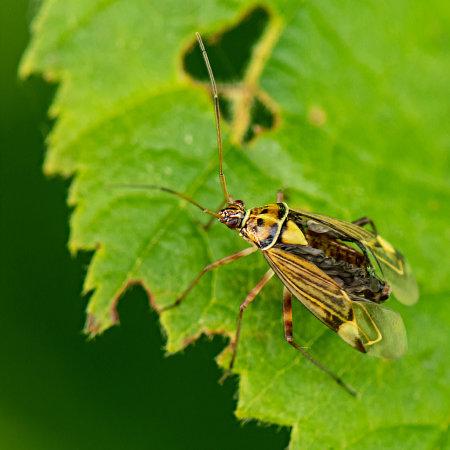Mirida Leaf Bug