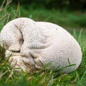 Mosaic Puffball (Lycoperdon utriforme)