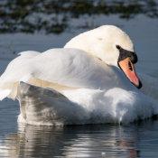 Mute Swan (Cygnus olar)