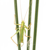 Oak Bush Cricket (Meconema thalassinum) male