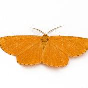Orange Moth (Odezia atrata)