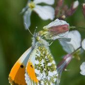 Orange Tip (Anthocharis cardamines male)