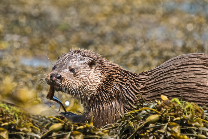 Otter (Lutra lutra Mustelidae)1