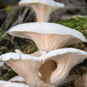 Oyster Mushroom 1 (Pleurotus ostreatus)