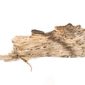 Pale Prominent (Pterostoma palpina)