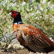 Pheasant-(Phasianus-colchicus)