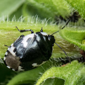 Pied Shield Bug (Sehirus-bicolor)