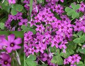 Pink Sorrel (Oxalis articulata)