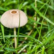 Pleated inkcap (parasola plicatilis)
