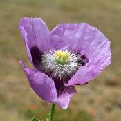 Poppy (Papaver somniferum)