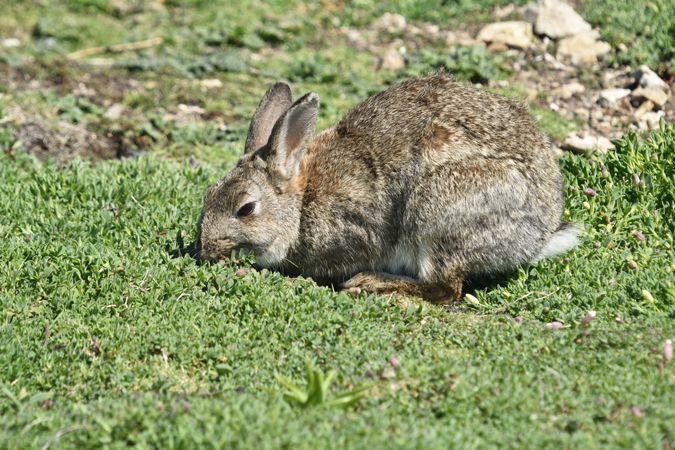 Rabbit (Oryctolagus cuniculus Lepoaridae)