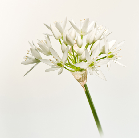 Ransoms (Alium ursinum)