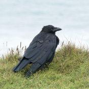 Raven-(Corvus-corax)