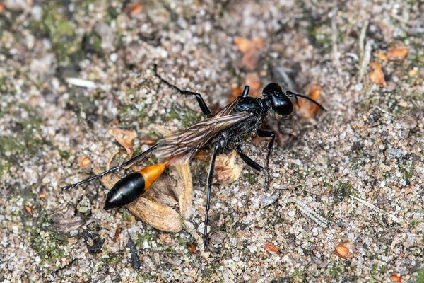 Red-banded sand Wasp (Ammophila sabulosa)