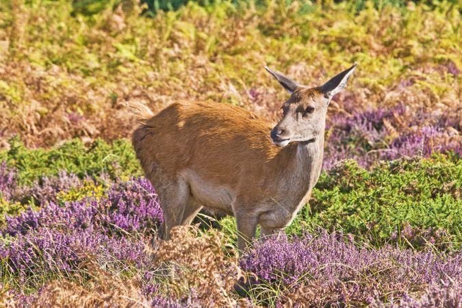 Red Deer Hind (Cervus elaphus Cervidae)