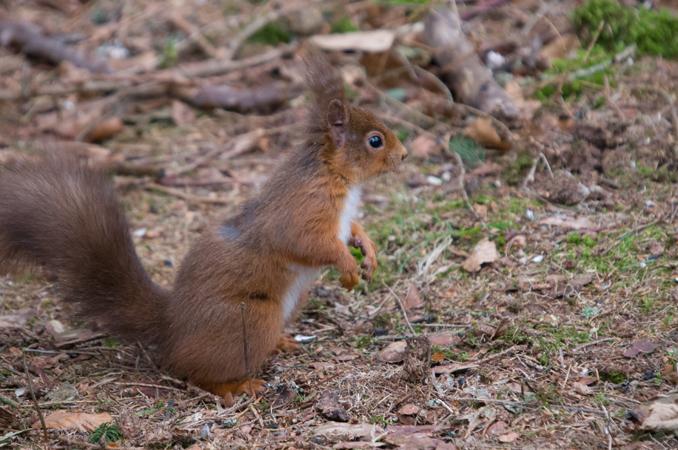 Red Squirrel (Sciurus vulgaris Aplodontidae)