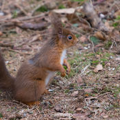 Red Squirrel (Sciurus vulgaris Aplodontidae)