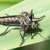 Kite-tailed Robber Fly (Machimus atricapillus) female