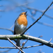 Robin (Erithacus rubecula) 2