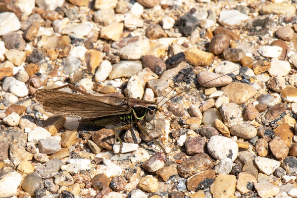 Roesel's Bush Cricket (Macropterous roeselii) female