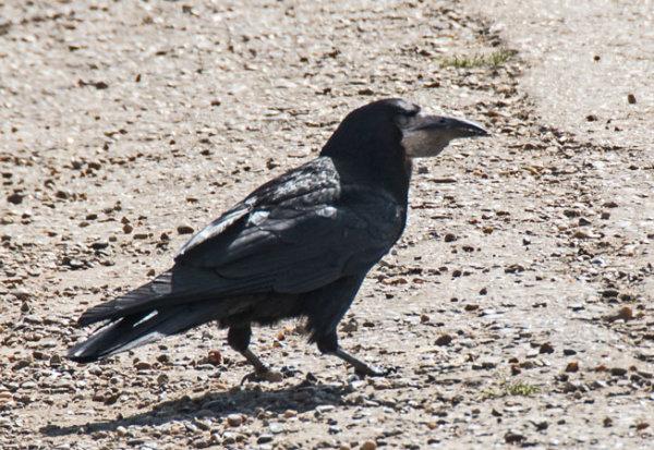 Rook-(Corvus-frugilegus)
