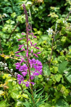 Rosebay Willow-herb (Chamerion angusti folium)