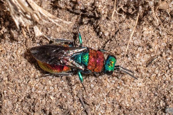 Ruby Tailed Wasp (Hedychrum niemelai)