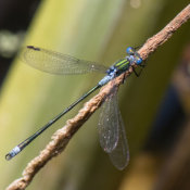 Emerald Damselfly (Leastes sponsa) male