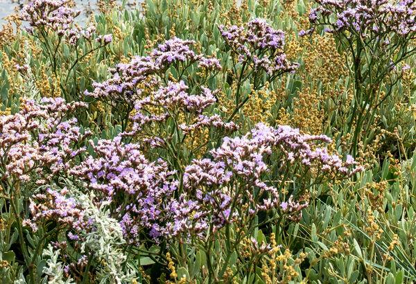Sea Lavender with Sea Purslane (Limonium vulgare,