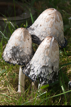 Shaggy Ink Caps (Coprinus comatus)