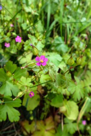 Shining Crane's-bill (Geranium lucidum)