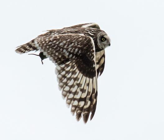 Short-eared-Owl-(Asio-flammeus)