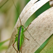 Short-winged conehead nymph