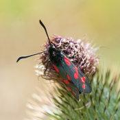 Six spot Burnett (Zygaena filipendulae)