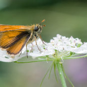 Small Skipper (Thymelicus lineola)