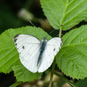 Small White butterfly ((Pieris rapae)