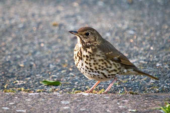 Song Thrush (Turdus iliacus)