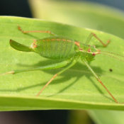 Speckled Bush Cricket (Leptophyes punctatissima) Female