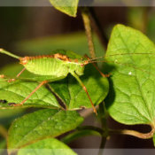 Speckled Bush Cricket (Leptophyes punctatissima) Male