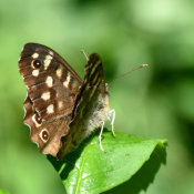 Speckled Wood(Pararge aegeria)