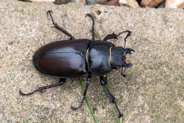 Stag-Beetle (Lucanua cervus) Female