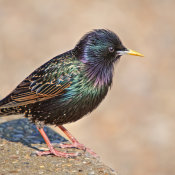 Starling (Sturnus vuigaris)