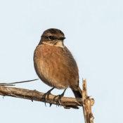 UK Birds (Land)
