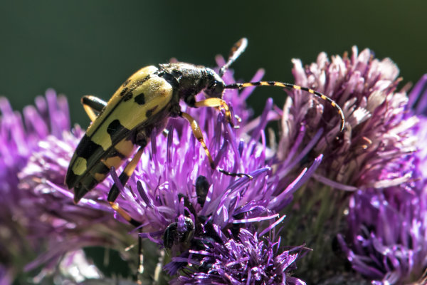 ngalia maculata (Long horned beetle)