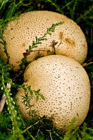 Stump puffball (Lycoperdon perlatum)