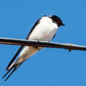 Swallow (Hirundo-rustica)